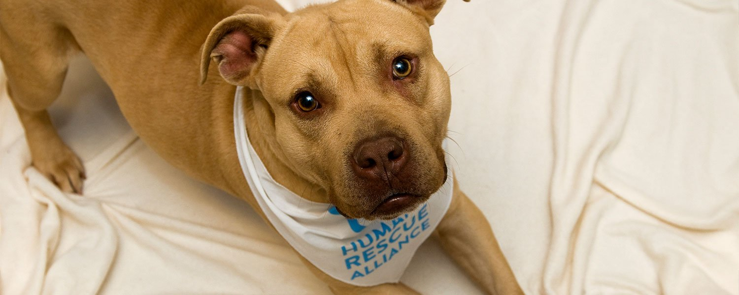 adoptable dog wearing HRA bandana