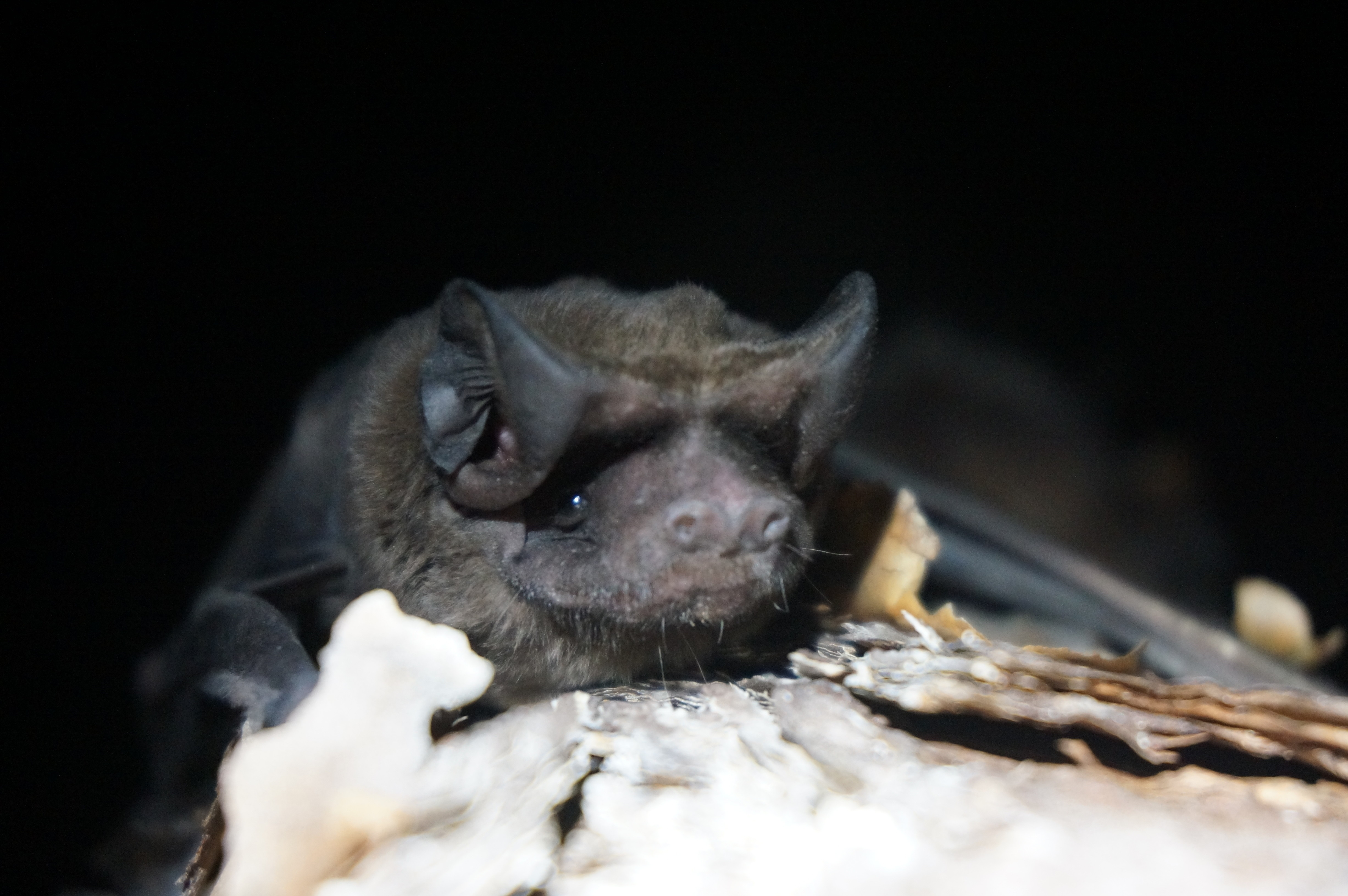 Miami Fl December 6 2018 Bat Conservation International Bci And Zoo Announced Today A New Aggressive Multi Faceted Campaign To Save The