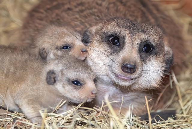 meerkat babies with mom