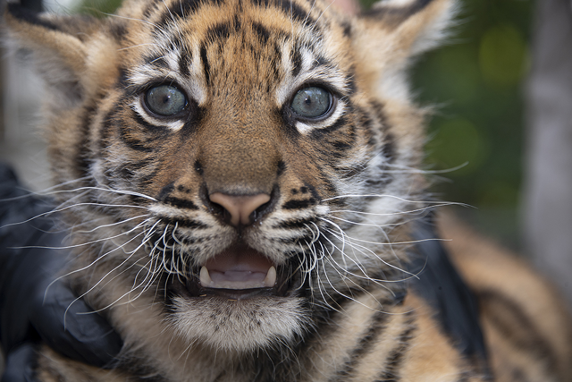 Photo of baby tiger