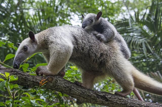 Photo of baby tamandua on mother's back