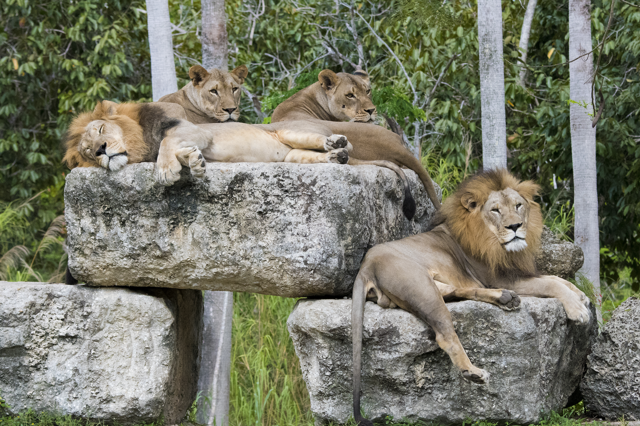 Photo of lion pride of two males and two females on pride rock