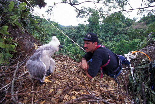Ron Magill looking at a harpy eagle chick in a nest in the tree canopy of Panama