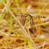 Band-winged dragonlet female(Erythrodiplax umbrata)