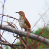 Brown thrasher (Toxostoma rufum)