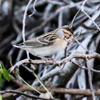 Clay-colored sparrow (Spizella pallida)