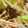 Dorantes long-tail skipper (Urbanus dorantes)