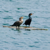 Double-Crested Cormorant adult and juvenile (Phalacrocorax auritus)