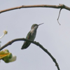 Ruby-throated hummingbird female (Archilochus colubris)