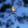 Golden silk orbweaver female (Nephila clavipes)