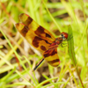 Halloween pennant dragonfly male (Celithemis eponina)