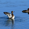 Lesser scaup female (Aythya affinis)