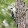 Red-bellied woodpecker female (Melanerpes carolinus)
