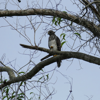 Red-sholdered hawk juvenile (Buteo lineatus)