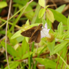 Three-spotted skipper (Cymaenes tripunctus)