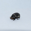 Unknown Dung beetle (Onthophagus sp.)
