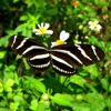 butterfly monitoring at Zoo Miami