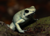 Phyllobates terribilis - Golden Poison Arrow Frog