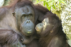 Photo of Orangutans Bella and Kumang