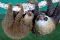 Photo of two sloths hanging from a branch