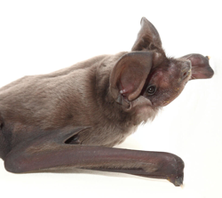 A profile view of a Florida bonneted bat