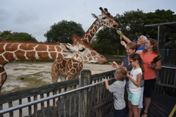 Family feeding giraffes