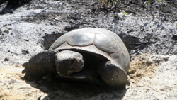 A gopher tortoise coming out of a burrow