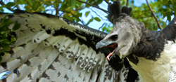 A harpy eagle calling with its wings spread outward