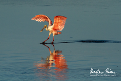 Spoonbill by Kirsten Hines