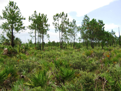 An elevated view of the pine rockland habitat