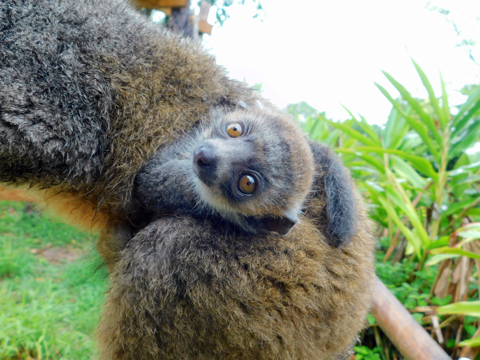Photo of baby mongoose lemur on mother's back
