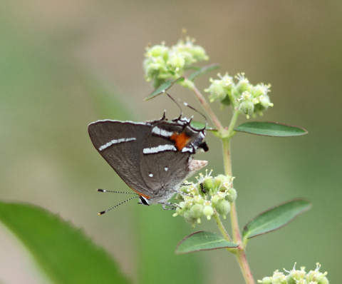 A federally endangered Bartram's hairstreak butterfly