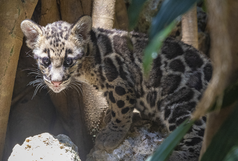 Photo of clouded leopard cub
