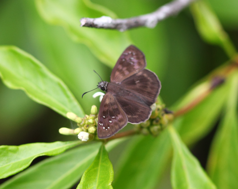 imperiled female Florida duskywing butterfly