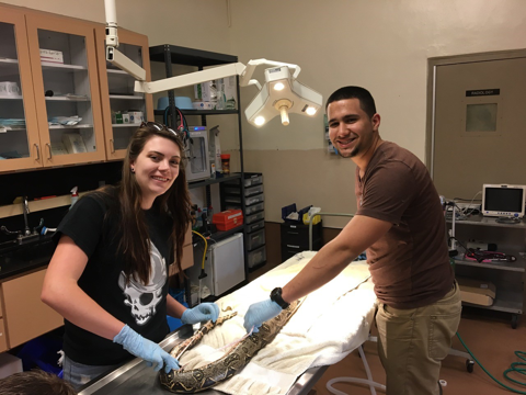 Undergraduates examining an invasive boa constrictor at Zoo Miami's hospital