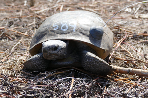 Gopher tortoise 589 showing his numbers written on his shell and radio transmitter attached to his shell.