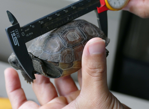 Measuring the shell length of a juvenile gopher tortoise