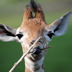 baby giraffe nibbling on a branch