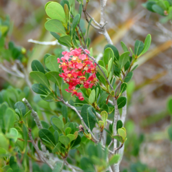The pink, red, and yellow blossom cluster of locustberry