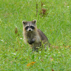 A raccoon standing upright in a grassy field