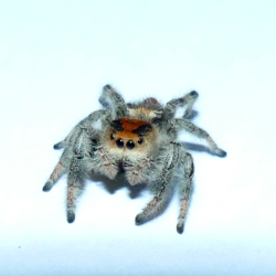 A female regal jumping spider