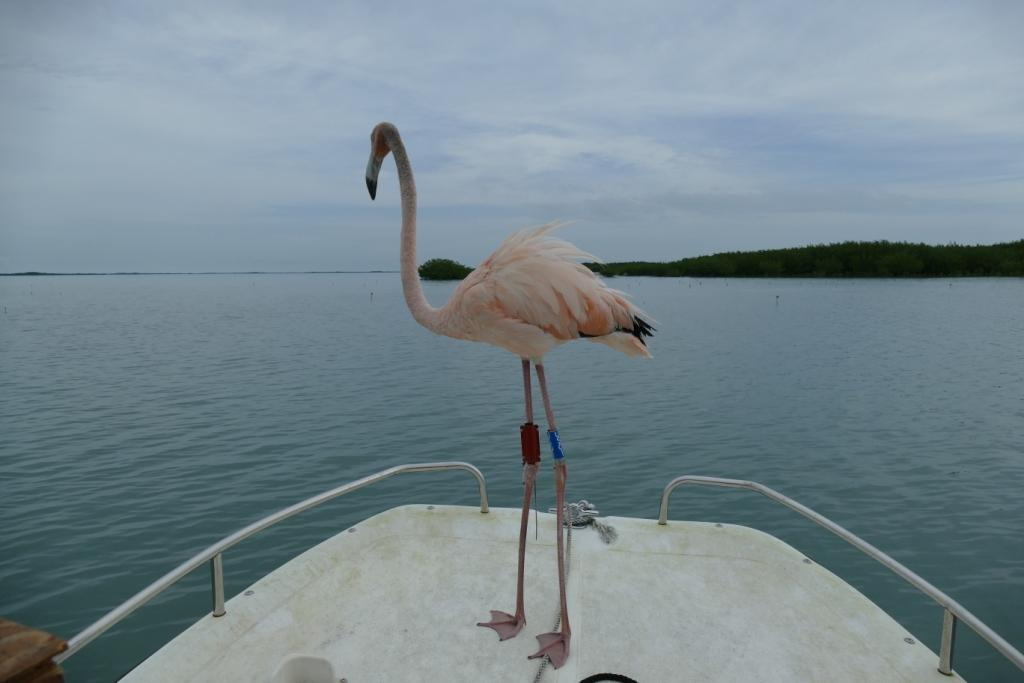 Conchy the American flamingo standing on the bow of a small boat during his release back into the wild.