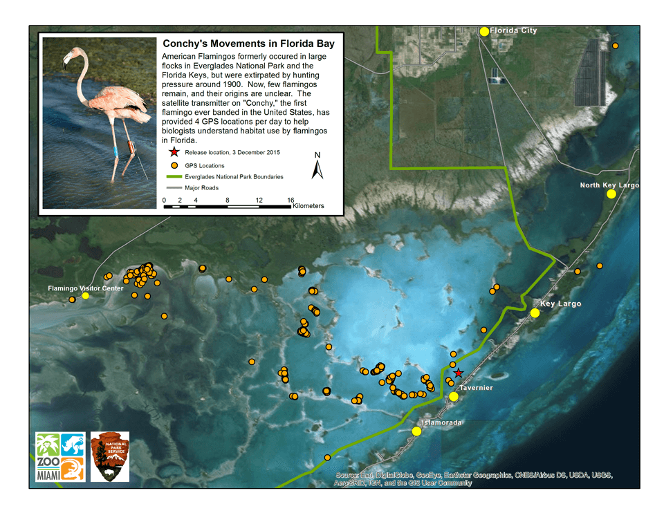 A map showing Conchy's movements in Florida Bay and the Florida Keys after release back into the wild