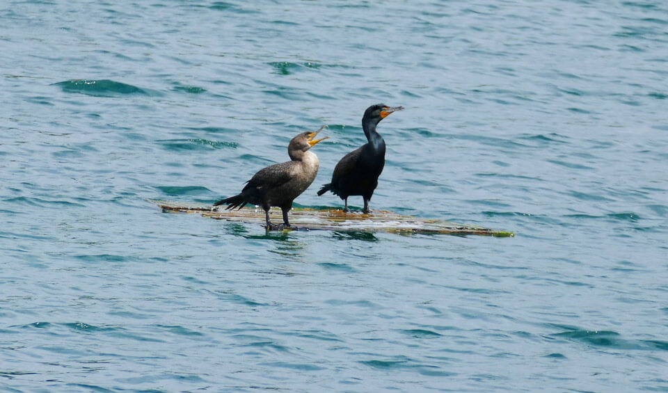Double crested cormorants in lake at Zoo Miami