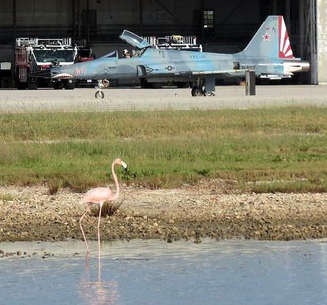 "The American flamingo ""Conchy"" in a small pond at the Boca Chica Air Field with a fighter jet on the runway in the background"