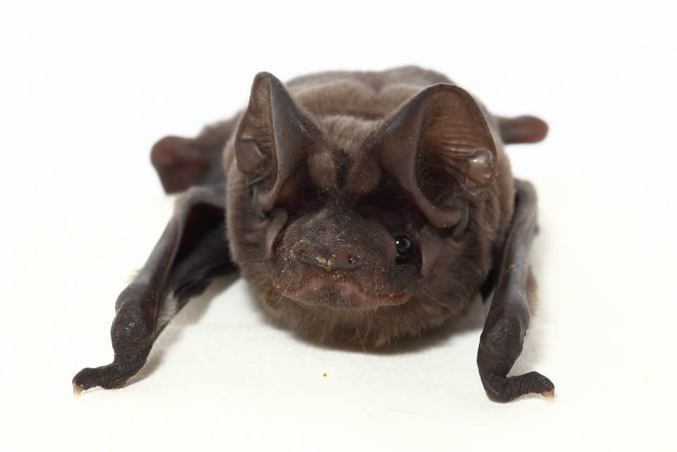 "Head on view of the Florida bonneted bat pup ""Bruce"""