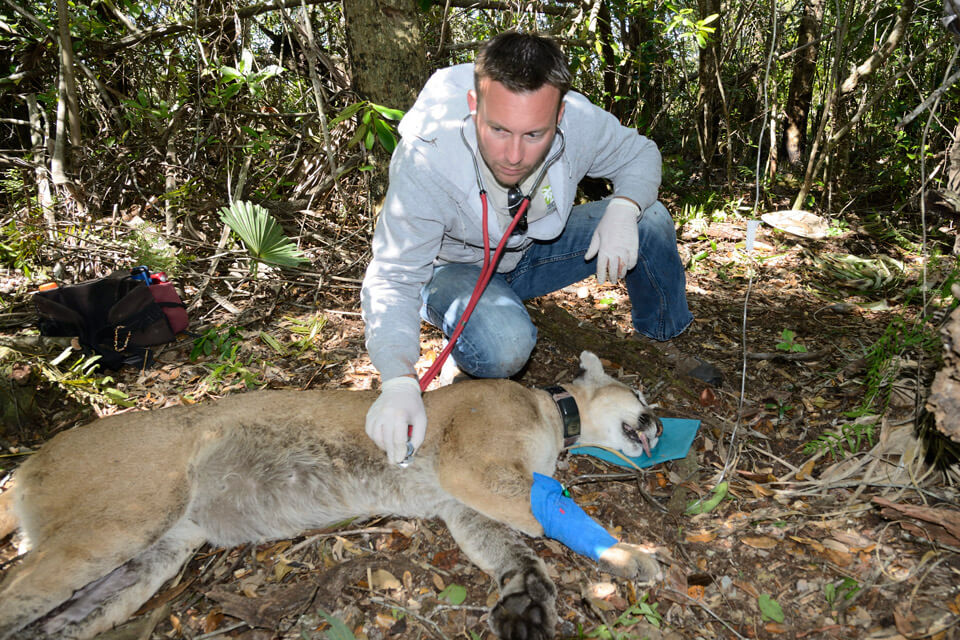 Dr. Frank Ridgley listening to a sedated Florida panther's heart in the wild during a health exam.