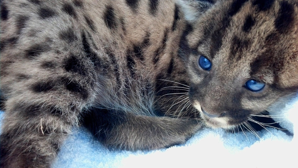 A Florida panther kitten with spots and blue eyes.