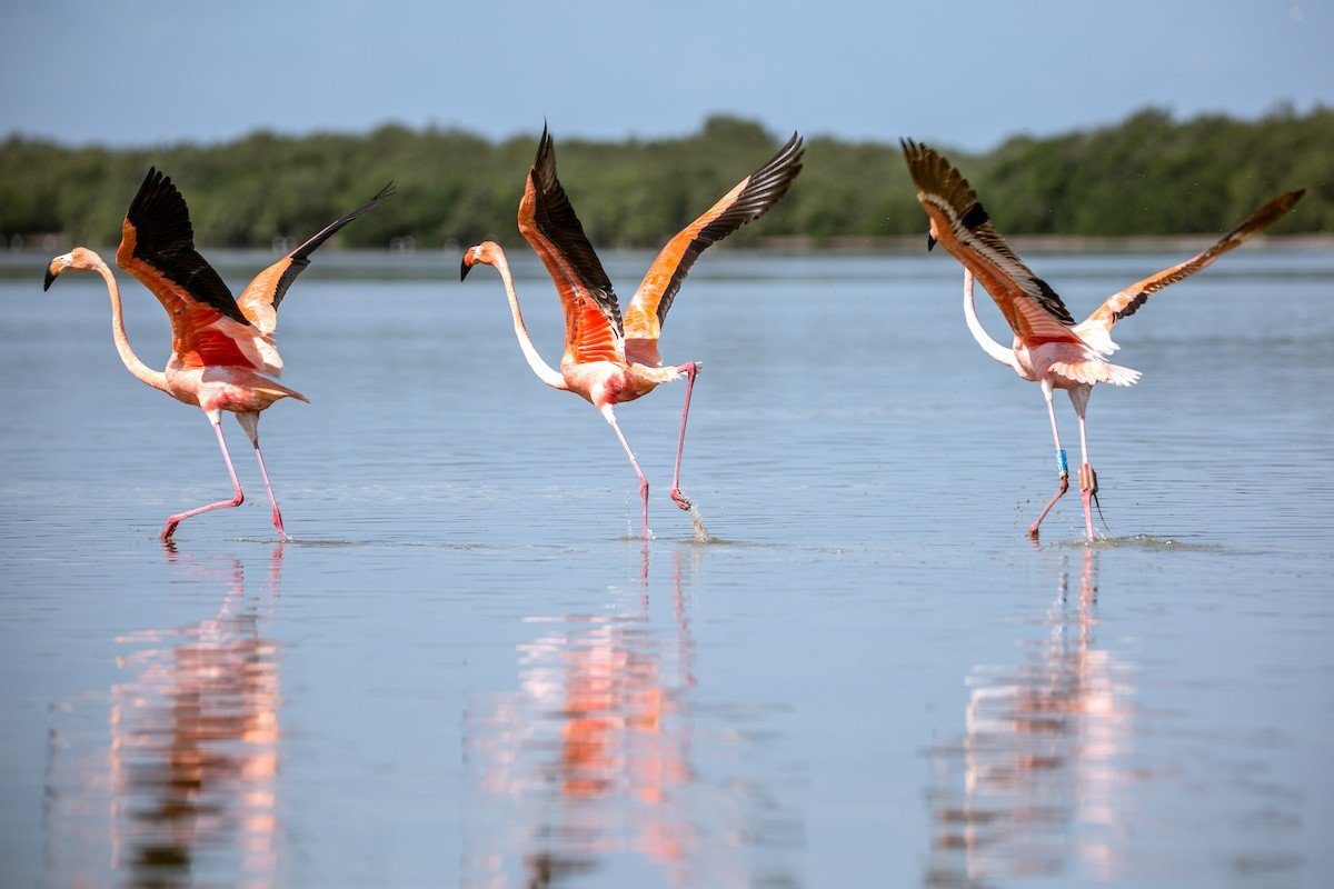Conchy the American flamingo with two other wild flamingos after his release.