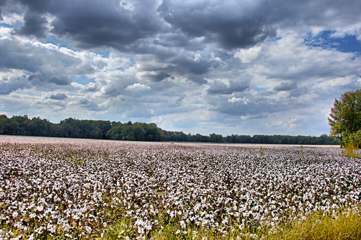 image of a cotton field